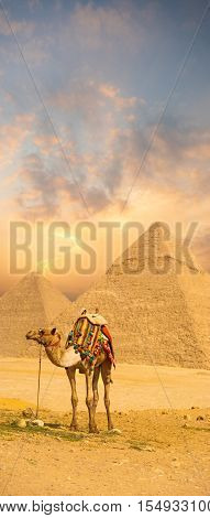 Colorful Sunset Camel Standing Front Egypt Pyramid