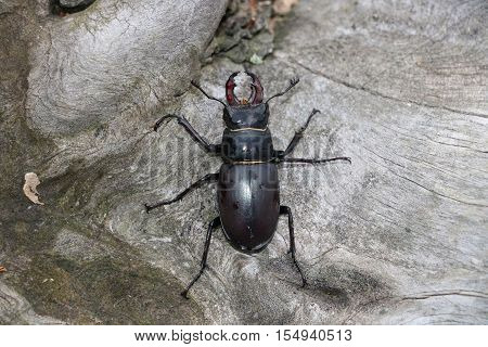 Male stag beetle (Lucanus cervus) available in high-resolution and several sizes to fit the needs of your project