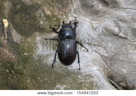 Female stag beetle (Lucanus cervus) available in high-resolution and several sizes to fit the needs of your project