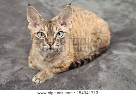 Beautiful devon rex tabby cat laying on the blanket