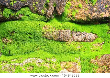 Green moss and plants grow over the old brick wall