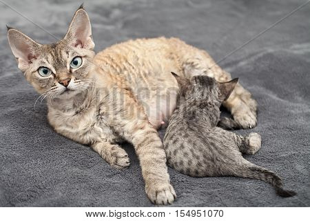 Devon rex cat mama with her kitten laying down on a soft blanket. Kitten is drinking milk. Cats