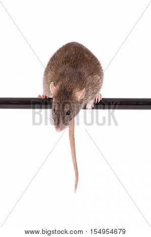 brown domestic rat on black crossbar isolated