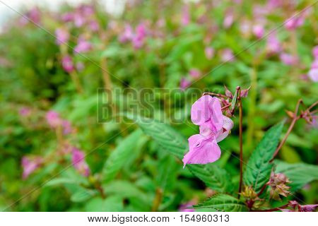 Closeup of pink budding and blossoming Himalayan Balsam or Impatiens glandulifera in its own wild nature habitat in the Netherlands.