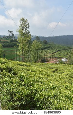 Tea Gardens in the South Indian state