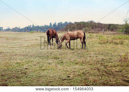 two brown horse on rural autumn farm