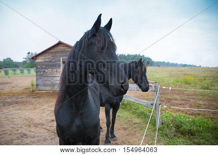 two black horse on vintage village farm