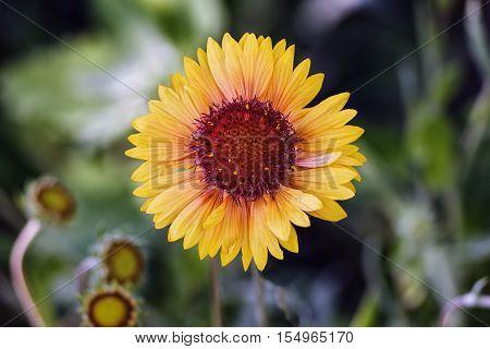 Beautiful yellow gerbera flower in the garden