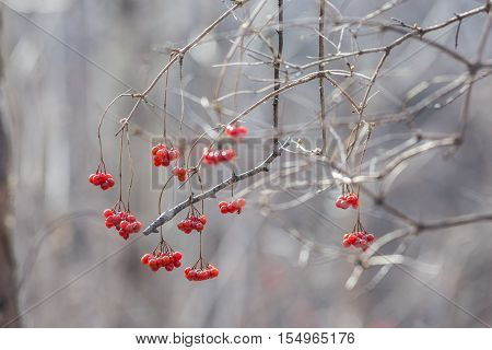Viburnum berries on a winter day .