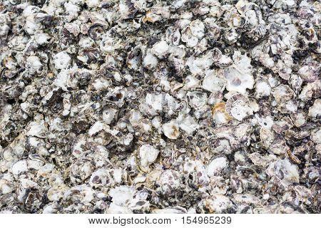 texture of body of oyster on the stone
