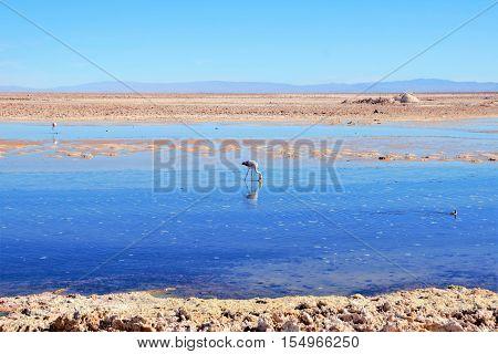 Panoramic view of the Laguna Chaxa a lagoon with flamingos in the National reserve Los Flamencos close to San Pedro de Atacama in the Atacama desert in Chile, South America