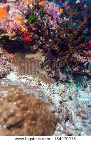 Shrimp-like decapod crustacean (stenopus hispidus) sitting in hole Maldives poster