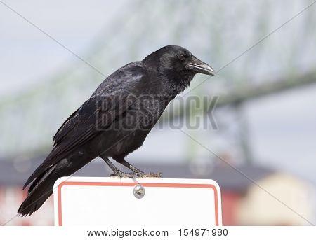 Close view of a crow with Astoria bridge in a background (Astoria Oregon).