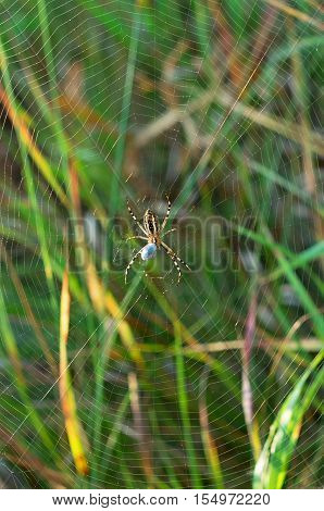 spider in the center of the web with cocoon