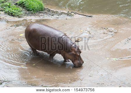 Hippo (hippopotamus Amphibius) Walking On Beach In Nature