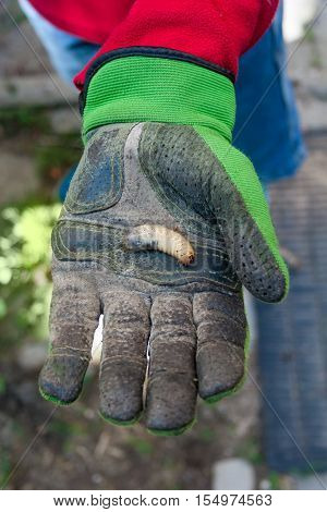 Man holding a larva in his hand in gloves