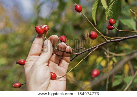 Rose Hips On Branch With Hand. Dog Roses On Green Background.
