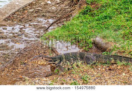 Komodo Dragon, also known as the Komodo monitor or lizard, sunning itself next to the lake in Lumphini Park, Bangkok, Thailand. Selective focus
