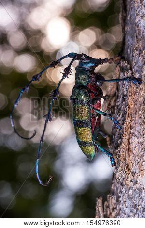 Longhorn Beetle (diastocera Wallichi), Beetle