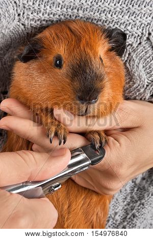 closeup of hands cutting claws of guinea pig with nail clipper