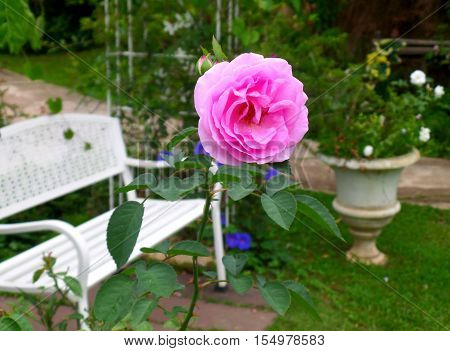 One bright pink blooming rose at the relaxing corner of the backyard