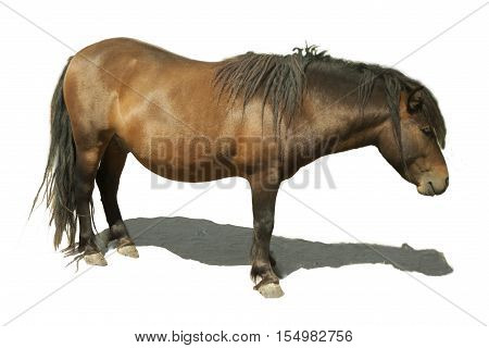 A brown horse pony with shadow on a white background