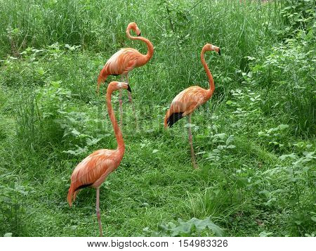 Three Flamingos walking though some tall grass to a pond of water.