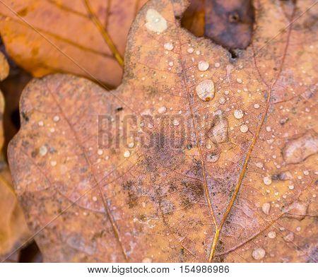 Water Droplets Lying On Autumnal Fallen Leaf