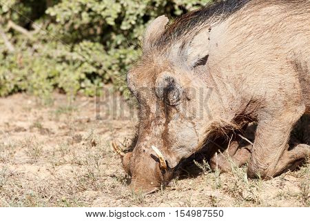 Warthog Bowing Down And Sniffing The Ground