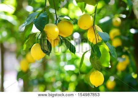 Bunch Of Fresh Ripe Lemons On A Lemon Tree Branch