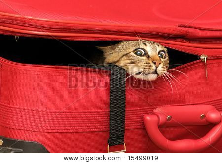 Cat in a suitcase