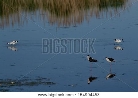Stilt walkers and avocet at Lake Neusiedl - austria