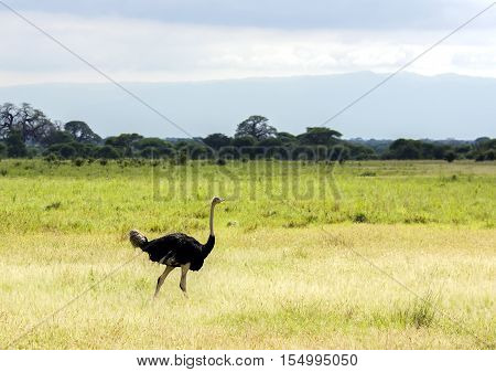 A big male ostrich walking across the savannah in the Ngorongoro Crater, national park Tanzania.