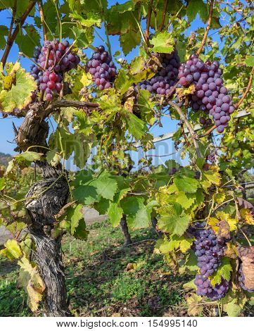 Vine stock in autumn with ripe blue grapes