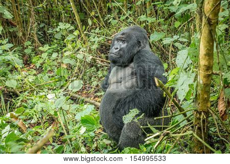 Silverback Mountain Gorilla Sitting In The Forest.