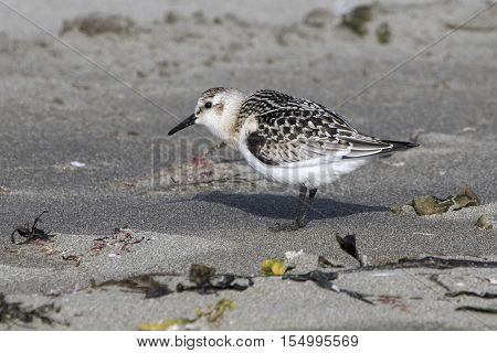 Sanderling in autumn plumage standing on a sandy beach