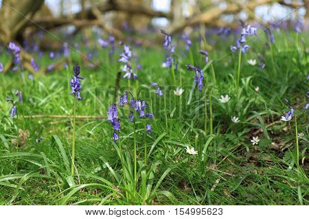 Close up view of Hyacinthoides non-scripta (common Bluebell)