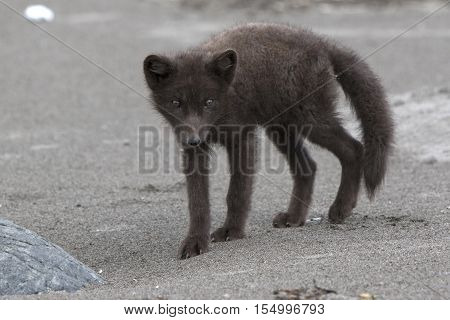 Young Commanders blue arctic fox standing on a sandy beach