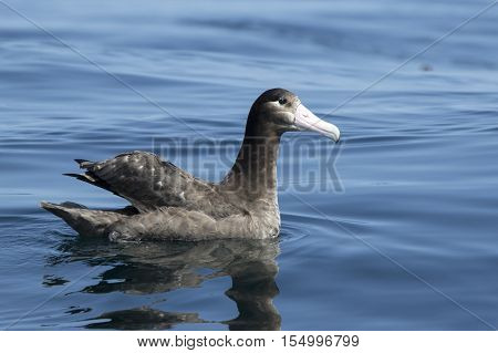 young short-tailed albatross sitting on the water sunny summer day