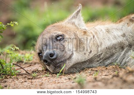 Spotted Hyena Sleeping.