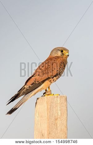 Common Kestrel perched on a wooden log in a farm in Bahrain