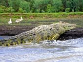 6M-long Crocodile Lake Chamo Ethiopia Eastern Africa poster
