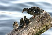 a mother duck leads the ducklings to a dry resting spot poster