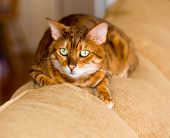 Orange bengal cat on back of sofa with open eyed stare poster