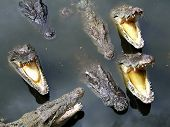 crocodiles in water poster
