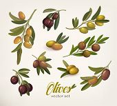 Set of green and black olive branches with twig. Bleak on olive berries with stem. May be used for olive oil bottle sticker or vegetarian olive food, botany book olive vector illustration poster