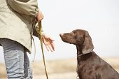 German short-haired pointer Kurzhaar and trainer outdoors. Natural light and colors poster