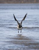 A goose takes off out of the water with its wings spread. poster