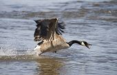 A Canada goose takes off out of the water looking angry. poster