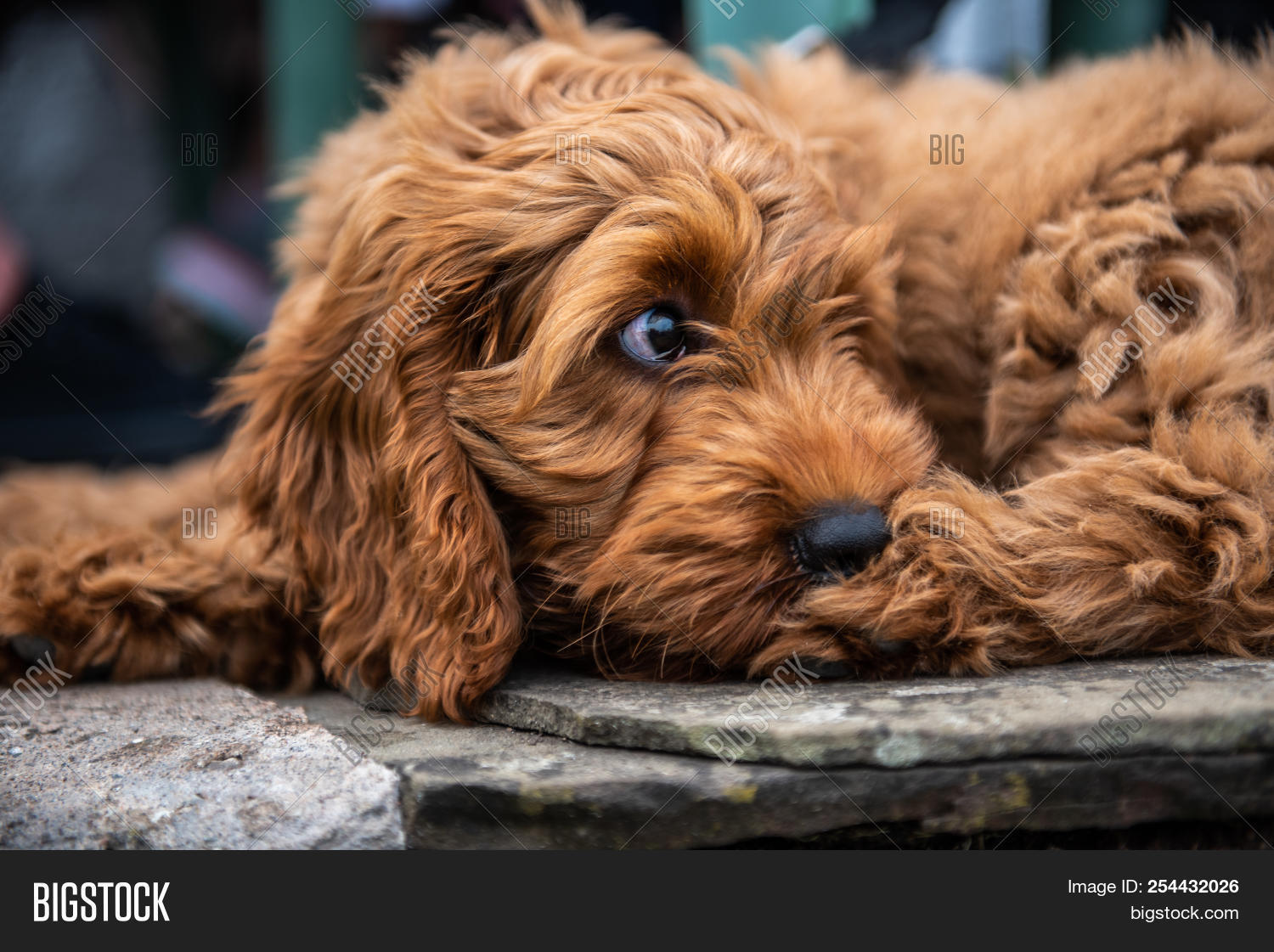Red Cockapoo Puppy Image Photo Free Trial Bigstock